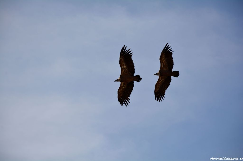 vulturi grifon, Spania