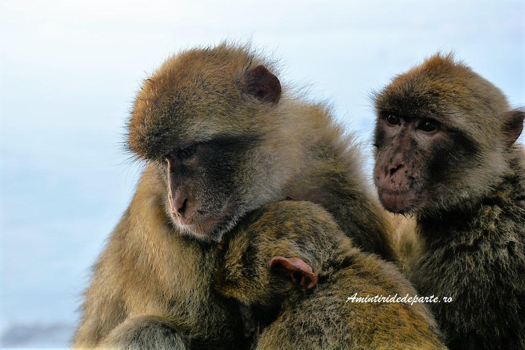 macaci din Gibraltar