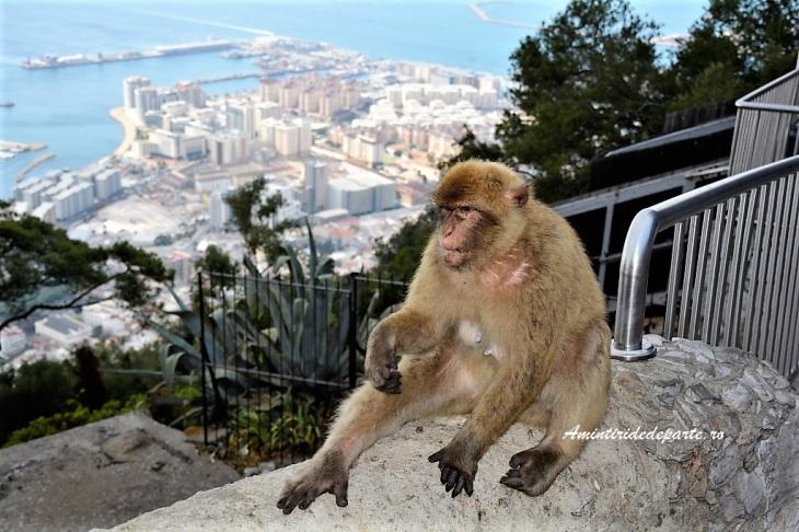 Macac din Gibraltar