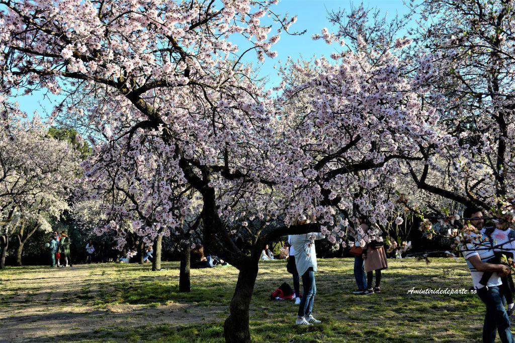 Migdalii infloriti din Parcul La Quinta de los Molinos, Madrid
