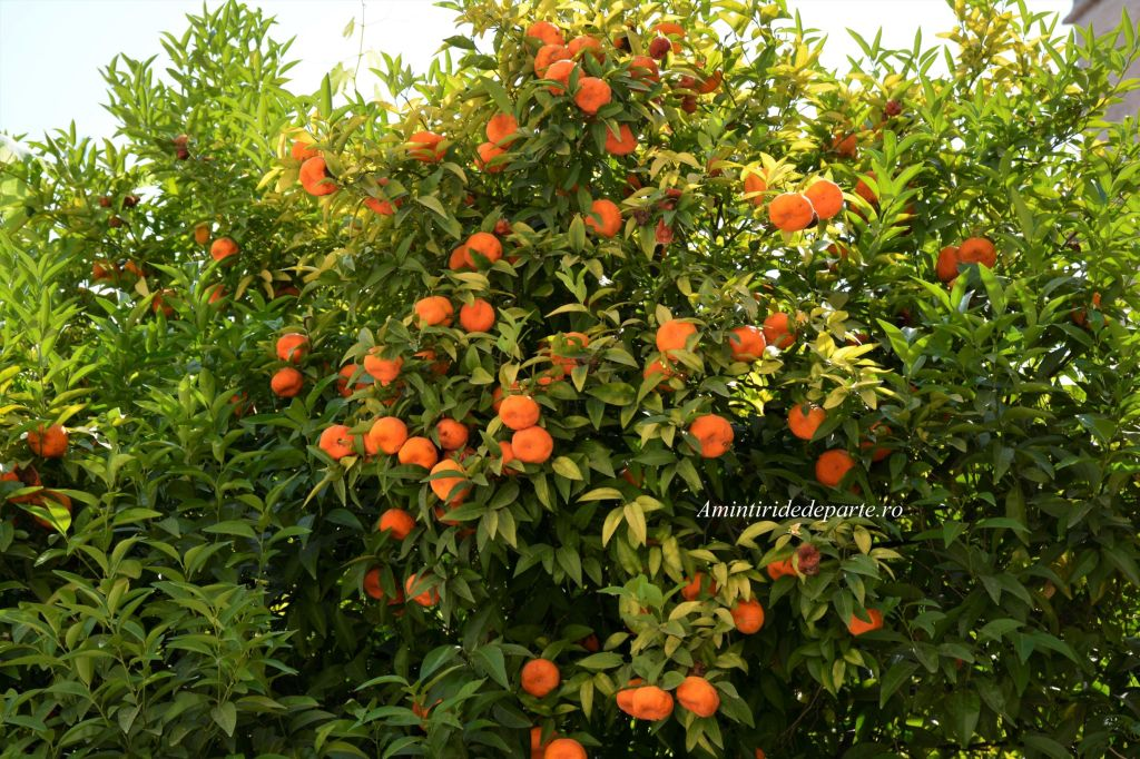 portocali din Valencia